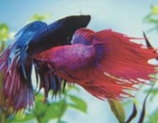 Care and feeding of the Betta 