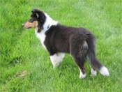 Collies and Border Collies