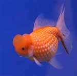 Live Goldfish, Gold Fish For Sale Online.