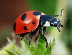 Ladybugs for Sale